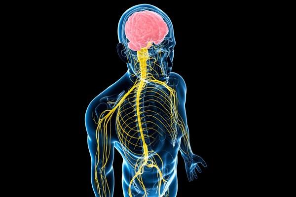Нервная и эндокринная системы