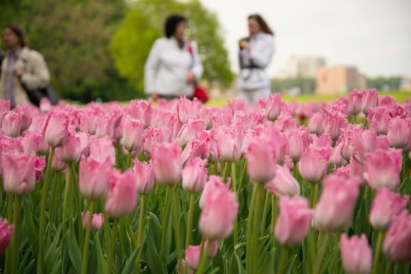 тюльпанов