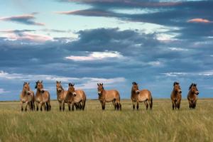 Лошадь Пржевальского: последняя дикая лошадь на Земле