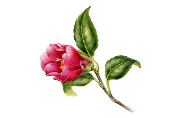 Исчезающая красота. Растения «Красной книги»