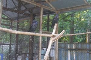 Клетка с воронами