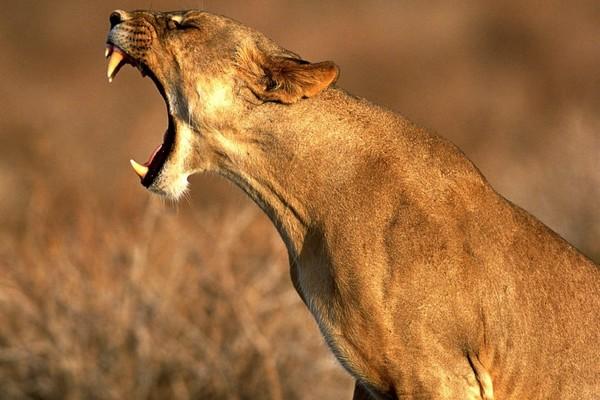 Покататься среди живых львов