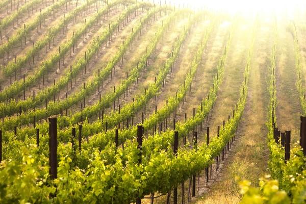 Виноделие стран Нового Света